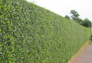 hedge-cutting-maintenance-mill-hill