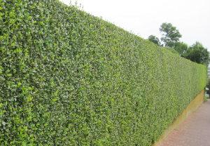 hedge-cutting-maintenance-mill-hill